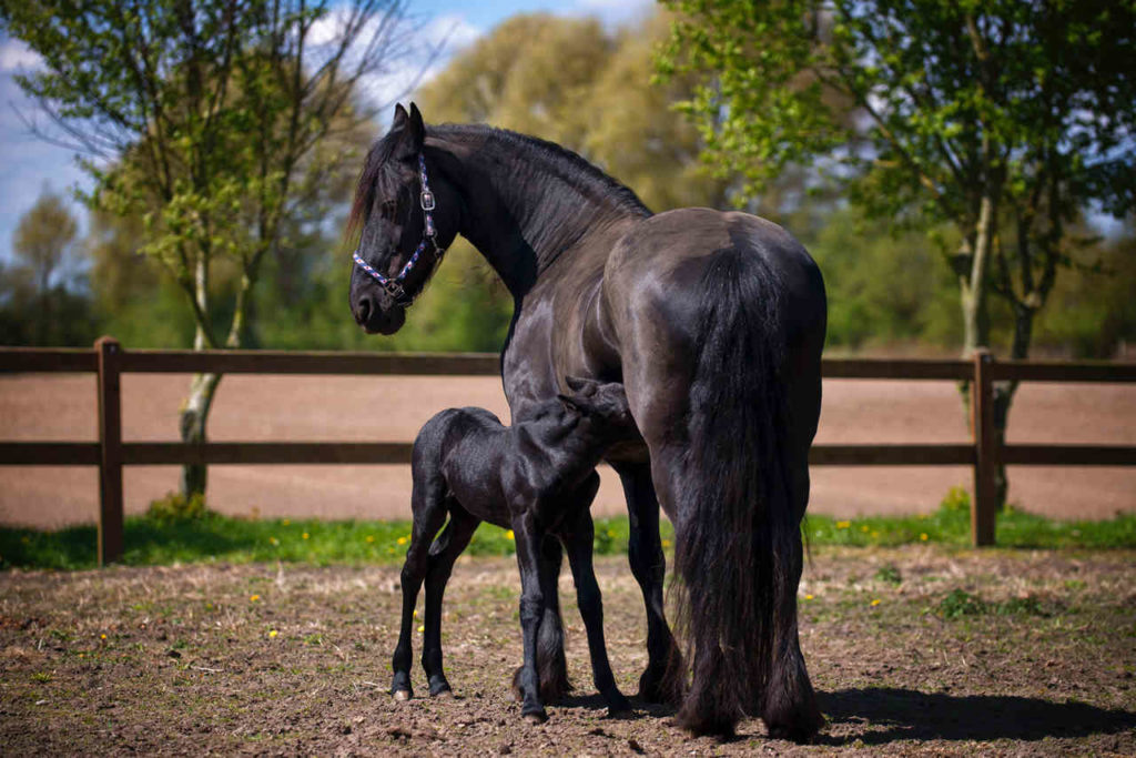 Friesian Mare and Foal