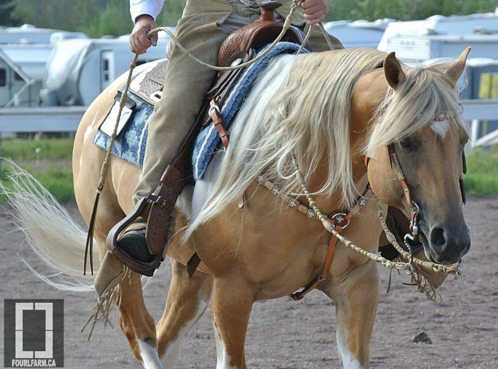 Palomino Horse In Western Outfit